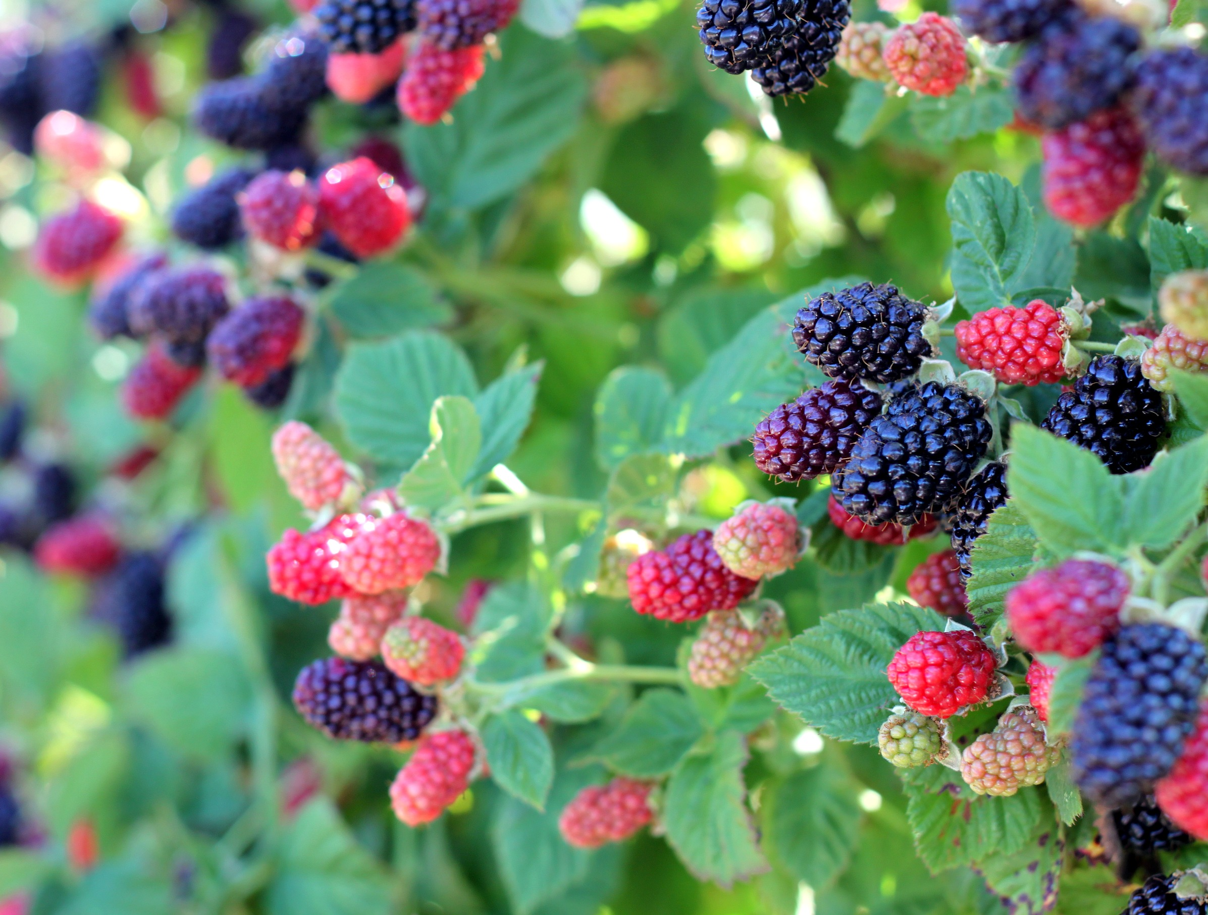 how to get rid of blackberry bushes