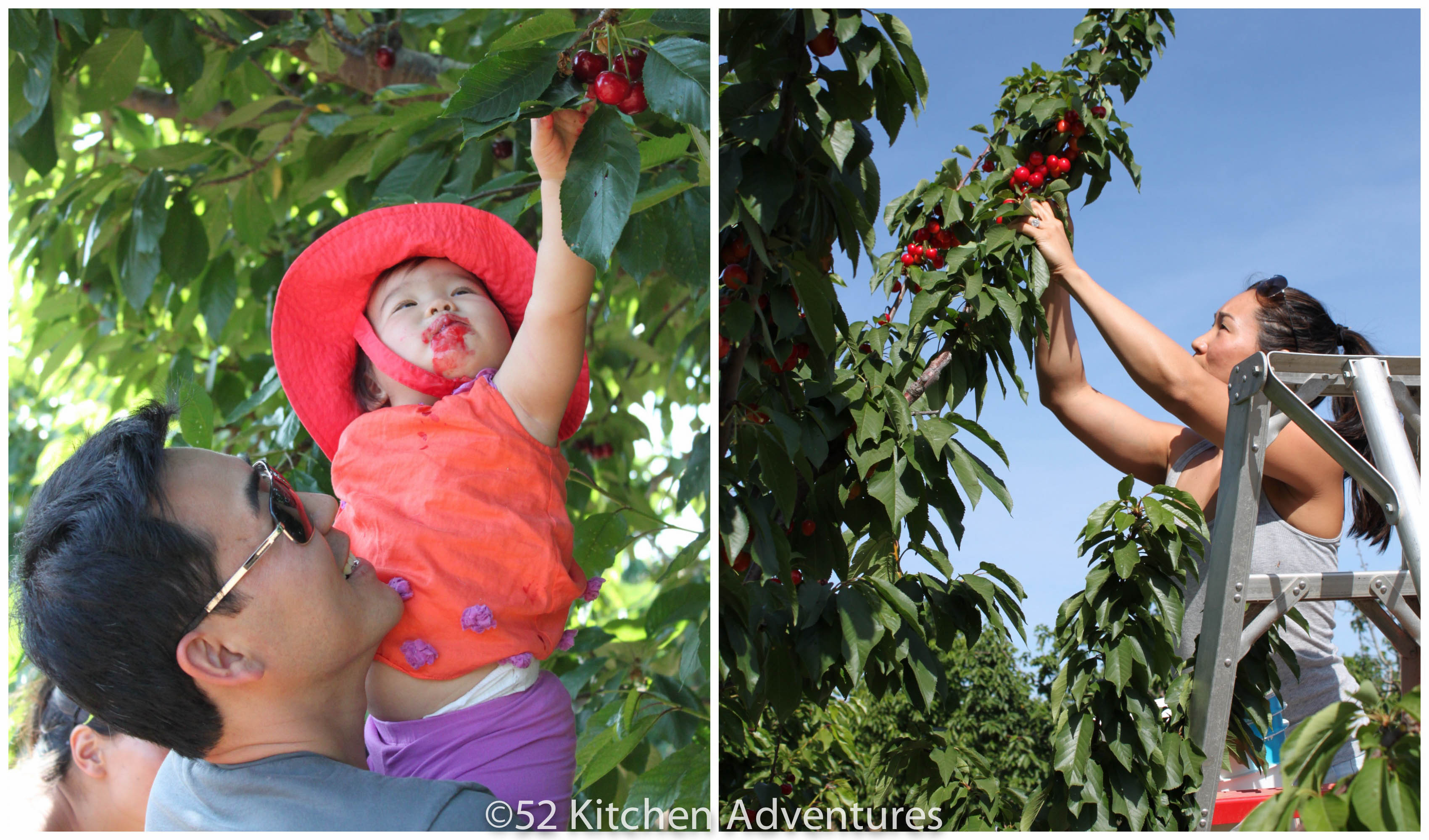 Cherry picking at Salvador Family Farms